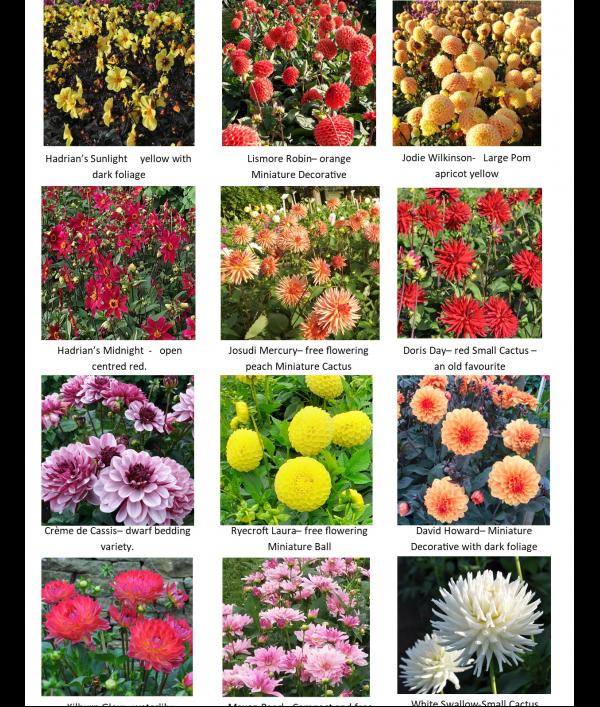 garden---ready-dahlia-plants.-128226.png